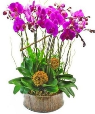 Ahşap kütükte lila mor orkide 8 li  Batman internetten çiçek satışı