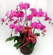 Sepet içerisinde 5 dallı lila orkide  Batman ucuz çiçek gönder