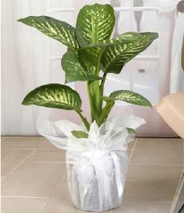 Tropik saksı çiçeği bitkisi  Batman çiçek satışı