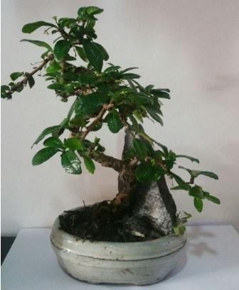 S şeklinde ithal bonsai ağacı  Batman çiçek yolla