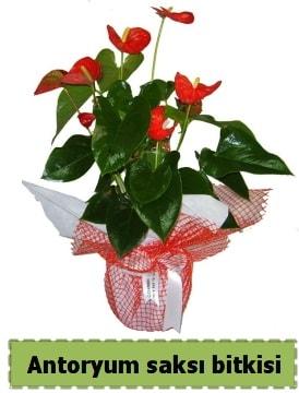 Antoryum saksı bitkisi satışı  Batman çiçek , çiçekçi , çiçekçilik