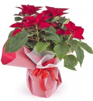 Atatürk çiçeği saksı bitkisi  Batman çiçek gönderme sitemiz güvenlidir