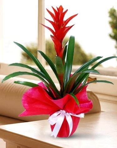 Guzmanya Saksı Çiçeği  Batman çiçek yolla