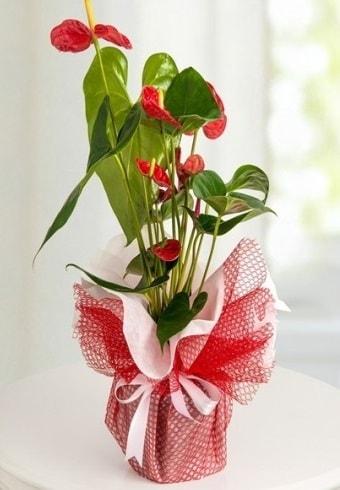 Anthurium Saksı Çiçeği  Batman hediye çiçek yolla