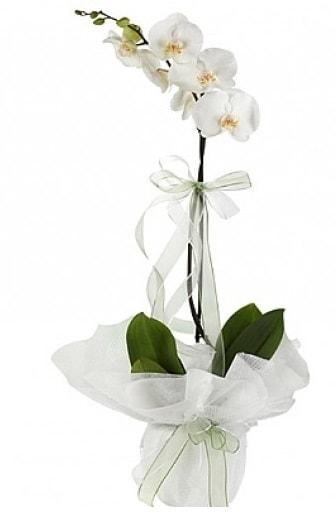 Tekli Beyaz Orkide  Batman hediye çiçek yolla