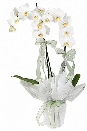 Çift Dallı Beyaz Orkide  Batman anneler günü çiçek yolla