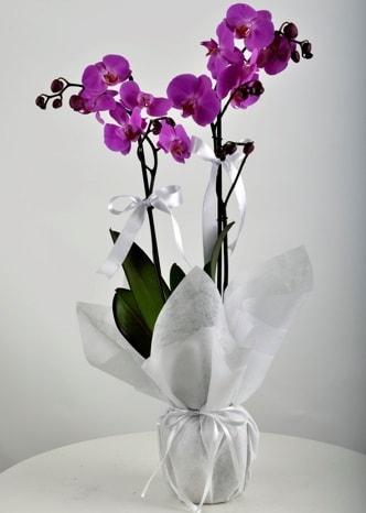 Çift dallı saksıda mor orkide çiçeği  Batman çiçek siparişi vermek