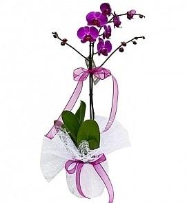 Tek dallı saksıda ithal mor orkide çiçeği  Batman çiçekçiler