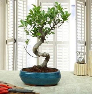 Amazing Bonsai Ficus S İthal  Batman internetten çiçek siparişi