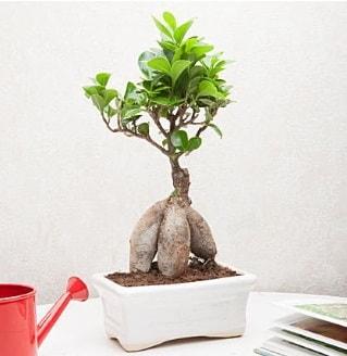 Exotic Ficus Bonsai ginseng  Batman çiçek servisi , çiçekçi adresleri