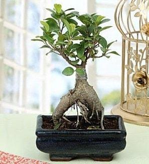 Appealing Ficus Ginseng Bonsai  Batman anneler günü çiçek yolla