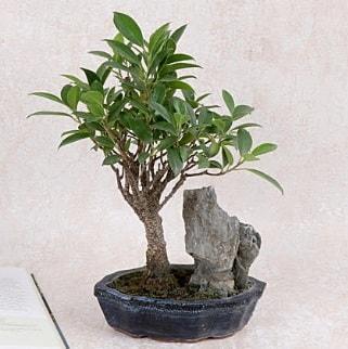Japon ağacı Evergreen Ficus Bonsai  Batman çiçek gönderme sitemiz güvenlidir