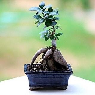Marvellous Ficus Microcarpa ginseng bonsai  Batman çiçek siparişi vermek