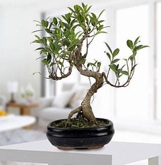 Gorgeous Ficus S shaped japon bonsai  Batman yurtiçi ve yurtdışı çiçek siparişi
