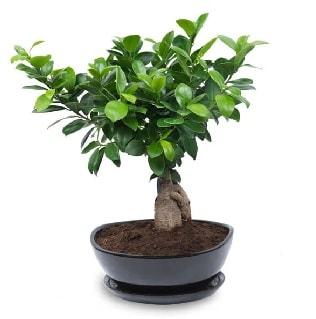 Ginseng bonsai ağacı özel ithal ürün  Batman internetten çiçek satışı