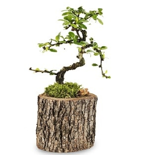 Doğal kütükte S bonsai ağacı  Batman çiçek satışı
