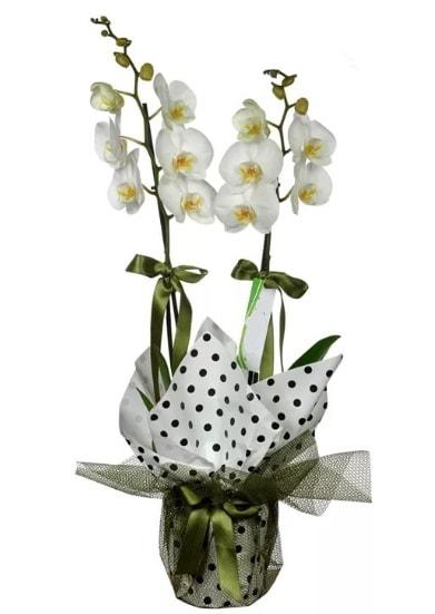 Çift Dallı Beyaz Orkide  Batman 14 şubat sevgililer günü çiçek