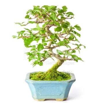 S zerkova bonsai kısa süreliğine  Batman İnternetten çiçek siparişi