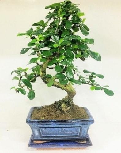 S Bonsai japon ağacı bitkisi  Batman uluslararası çiçek gönderme