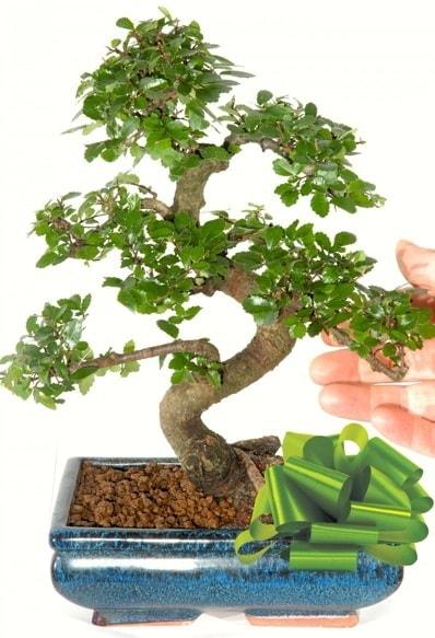 Yaklaşık 25 cm boyutlarında S bonsai  Batman çiçek siparişi sitesi