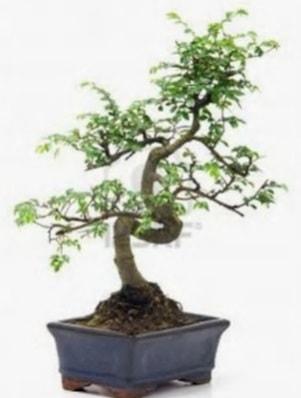 S gövde bonsai minyatür ağaç japon ağacı  Batman çiçek satışı