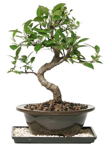 Altın kalite Ficus S bonsai  Batman çiçekçi telefonları  Süper Kalite