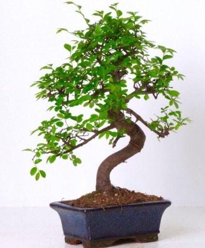 S gövdeli bonsai minyatür ağaç japon ağacı  Batman çiçek gönderme sitemiz güvenlidir