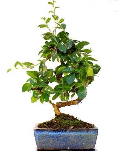 S gövdeli carmina bonsai ağacı  Batman çiçek yolla  Minyatür ağaç