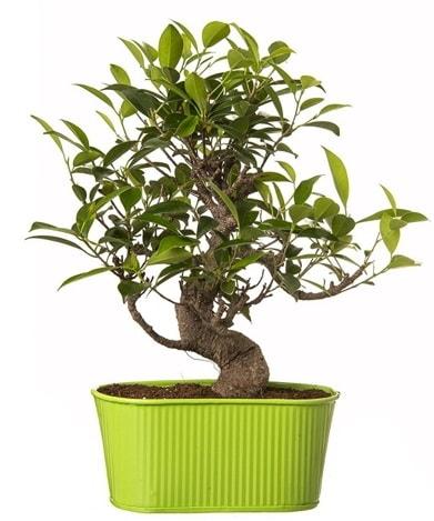 Ficus S gövdeli muhteşem bonsai  Batman çiçek siparişi sitesi