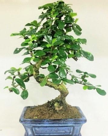 Zelkova S gövdeli Minyatür ağaç Bonzai  Batman çiçek gönderme