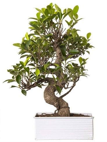 Exotic Green S Gövde 6 Year Ficus Bonsai  Batman çiçek gönderme sitemiz güvenlidir