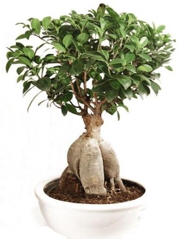 Ginseng bonsai japon ağacı ficus ginseng  Batman İnternetten çiçek siparişi
